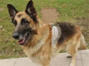 Zeus German Shepherd Dog