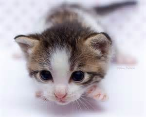 new about cat en iyi 17 fikir newborn kittens te yavru