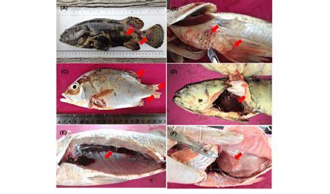 vibrio fish spp positive photographs were subsp photobacterium publication
