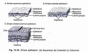 Animals Tissues  3 Types Of Animal Tissues  With Diagrams