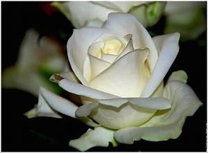 Fleur Rose Et Blanche : rose blanche et delicate fleur nature photo fond ecran image ~ Dallasstarsshop.com Idées de Décoration