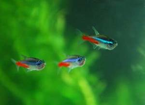 Nature Lover Neon Tetra Fish