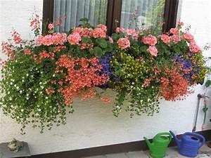 Winterharte Pflanzen Für Balkonkästen : wandelr schen zu geranien seite 1 terrasse balkon mein sch ner garten online ~ Orissabook.com Haus und Dekorationen