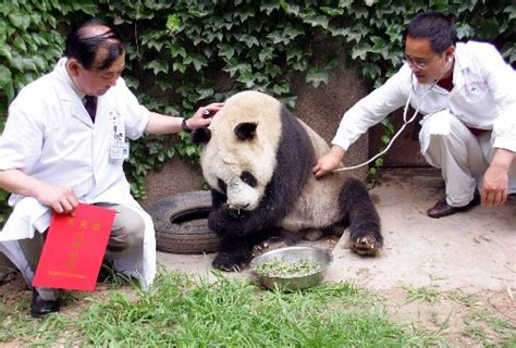 2 Pandas Fertilized With Semen From Aged Wild Panda