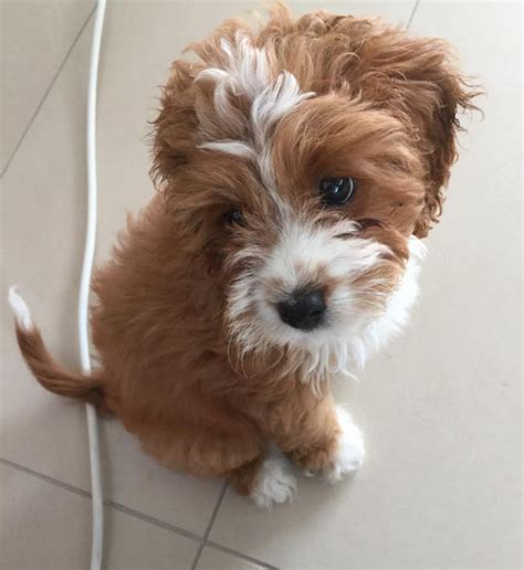 Cutest Non Shedding Small Dogs by Cavoodles Chevromist Kennels Puppies