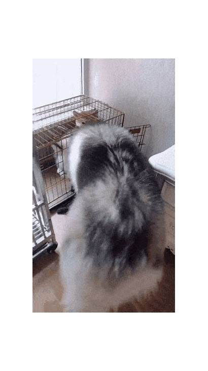 Husky Dog Giphy Dogs Wolf Funny Cage