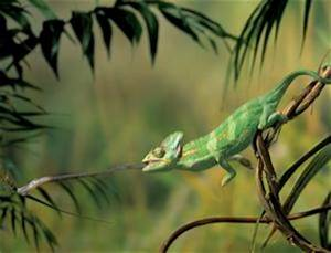 Why chameleons are the only lizards that eat breakfast ...