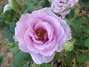 Mainzer Fastnacht Rose : rose mainzer fastnacht die pusteblume ~ Orissabook.com Haus und Dekorationen