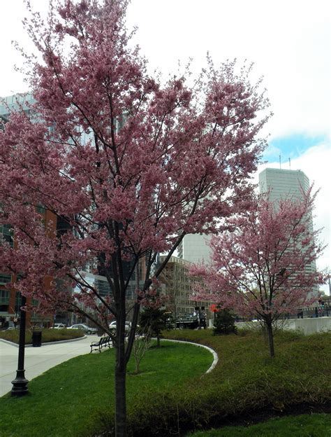 okame cherry tree pictures what s in bloom life on the greenway