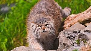 Angry Pallas's cat on a rock wallpaper - Animal wallpapers ...