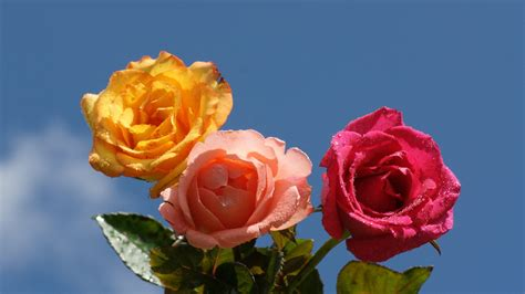 Yellow Pink Red Rose Hd Wallpaper