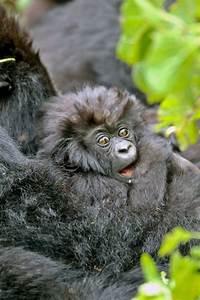 Funny Baby Gorillas