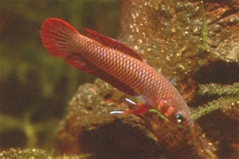 betta sp sukadana