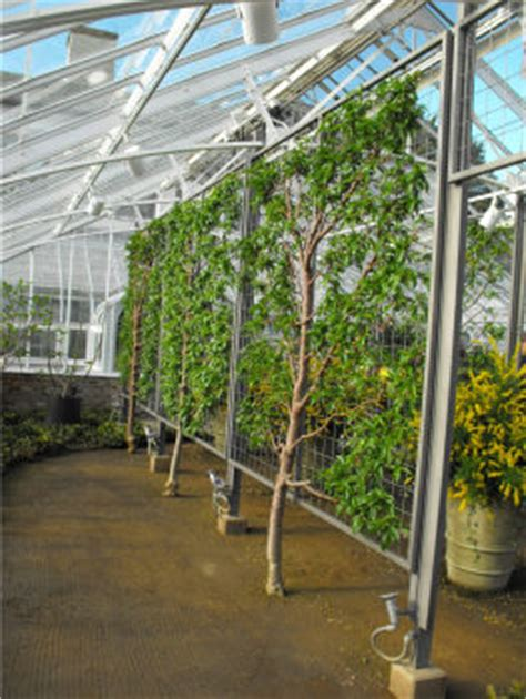 espalier fig trees for sale espaliered fruit trees part 2