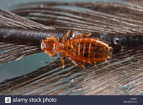 Images Of Lice Bird Louse Feather Lice Feather Louce Dennyus