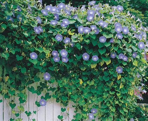tanaman merambat solusi praktis rumah cantik sepanjang