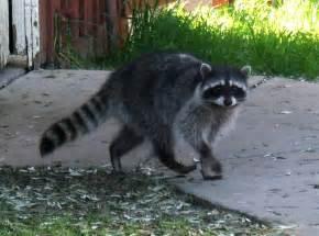 Animal Looks Like Raccoon