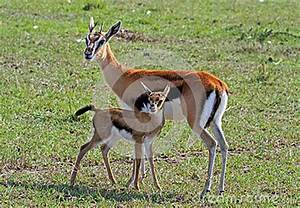 A Thomson Gazelle Doe And Her Calf On The Plains In Kenya ...
