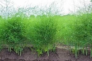Wann Dahlien Pflanzen : gr nspargel pflanzen gr ser im k bel berwintern ~ Frokenaadalensverden.com Haus und Dekorationen