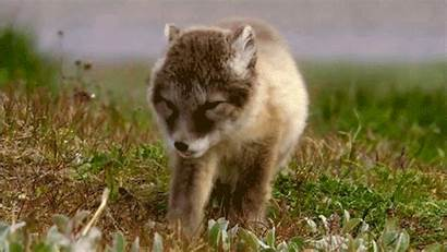 Cutest Animal Ever Gifs Fox Artic Animals