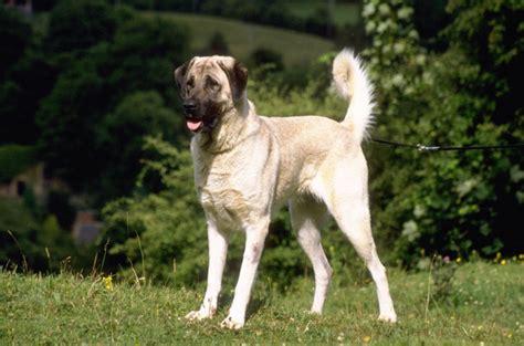 anatolian shepherd dog info history temperament