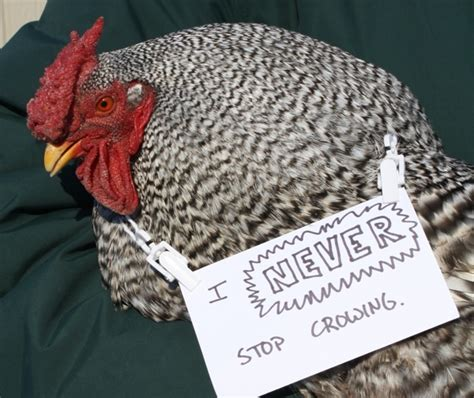 Poultry Shaming Cultural Revolution Confessions Forens And Roosters Boing Boing
