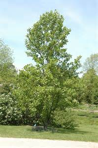 Liriodendron Tulipifera Tulip Tree