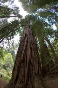 Giant Redwood Trees