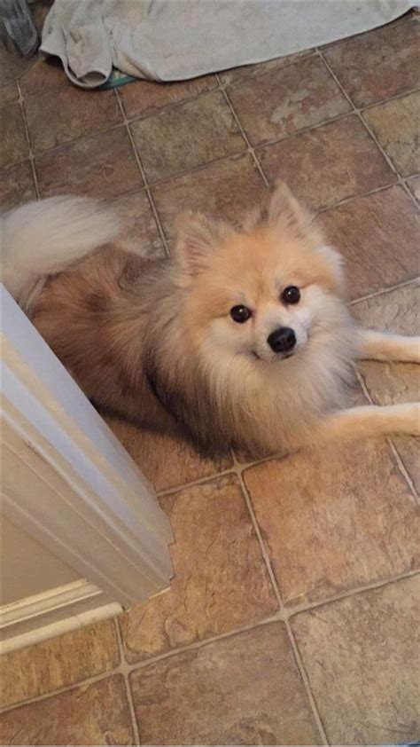 lost missing dog pomeranian covington ga usa