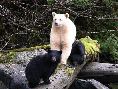 Ursos Todo Mundo Animalstown Kermode Bear