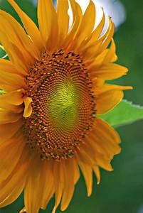 Sunflower Macro Photograph by Michelle Cruz