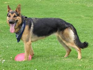 German shepherd breed guide learn about the german shepherd for Dog house for german shepherd size