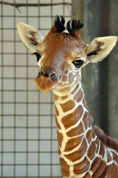 25+ Unique Baby Giraffe Pictures Ideas On Pinterest  Zoo Animal Coloring Pages, Giraffe Horns
