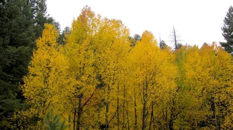 Fall color is peaking near Tucson in the Catalina ...