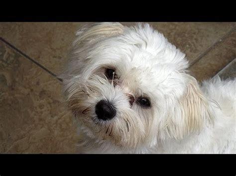 malteser hund benny youtube