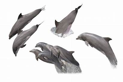 Dolphin Transparent Dolphins Fish Backgrounds Sea Clipart