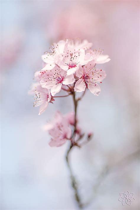 spring cherry blossom  jacky parker  px px
