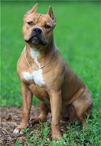 American Pit Bull Terrier dog general features ...