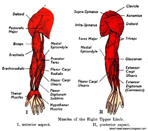 Simple exercises to strengthen your feet, part 3. Muscle Diagram Of Shoulder . Muscle Diagram Of Shoulder ...