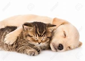 Golden Retriever Puppy Dog And British Cat Sleeping ...