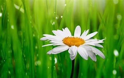 Daisy Flower Flowers Evening Backgrounds Desktop Wallpapers