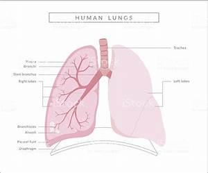 Human Lungs Diagram Stock Vector Art 481669095