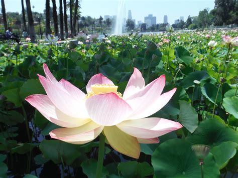 Echo Park Lake Lotus Bed