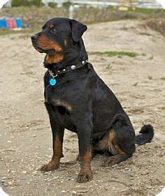 rottweilers images cute dogs rottweiler