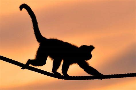 Animal Silhouette Wallpaper - animals monkeys ropes silhouette wallpapers hd