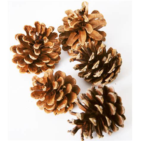 buy natural pine cones tts