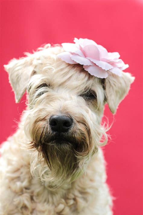 Why Is My Wheaten Terrier Shedding by 739 Best Images About Dogs On Pictures