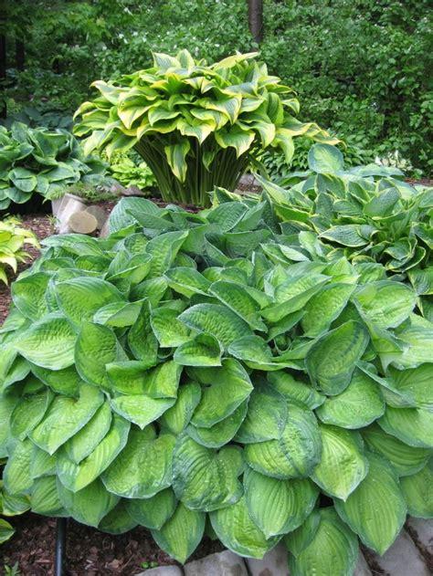 hosta shade 435 best images about hosta gardening on pinterest plants shade garden and hosta sieboldiana