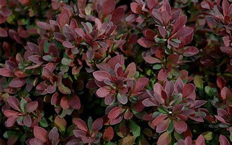 burgundy shrubs and bushes buy royal burgundy barberry berberis thunbergii gentry 1 gallon barberry shrubs