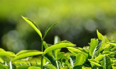 Growing And Producing Tea